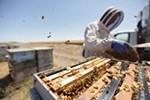 Olson's Honey Field Supervisor Matthew Shakespear inspects a bee hive frame.