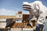 Olson's Honey Field Supervisor Matthew Shakespear prepares to remove a frame from a bee hive.