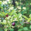 PHOTO EYE | I'm Your Huckleberry