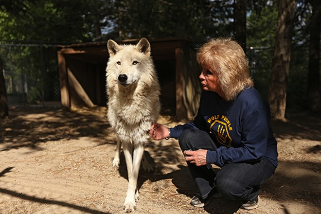 Taylor pets Casperita, a 2-year-old Arctic and timber wolf mix. - YOUNG KWAK