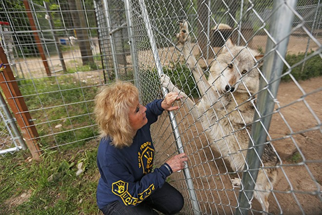 Taylor greets Arctica, a 2-year-old Arctic and timber wolf mix. - YOUNG KWAK