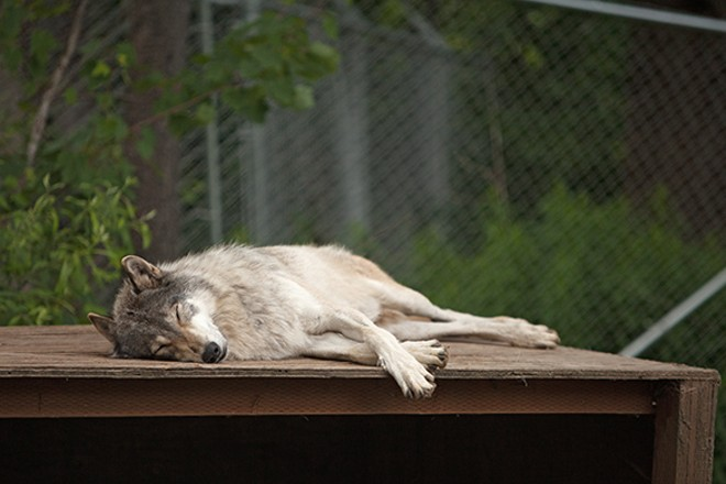 Miwa, a 4-year-old timber wolf, sleeps in the enclosure. - YOUNG KWAK