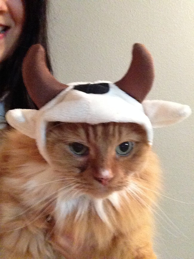 Piccola the Holstein dairy cow-cat rules the household with an iron paw at former Inlander music editor and now contributing writer Leah Sottile's house.
