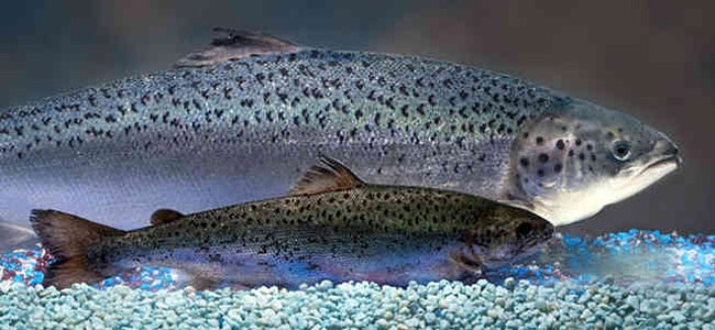 Rep. Cary Condotta, R-East Wenatchee, plans to introduce legislation about the AquaAdvantage salmon, back, which may be approved as the first genetically modified salmon on the market. - AQUABOUNTY TECHNOLOGIES