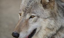 Wildlife groups seek restraining order to block wolf-hunting derby in Idaho