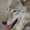 Wildlife groups seek restraining order to block wolf-hunting derby in Idaho
