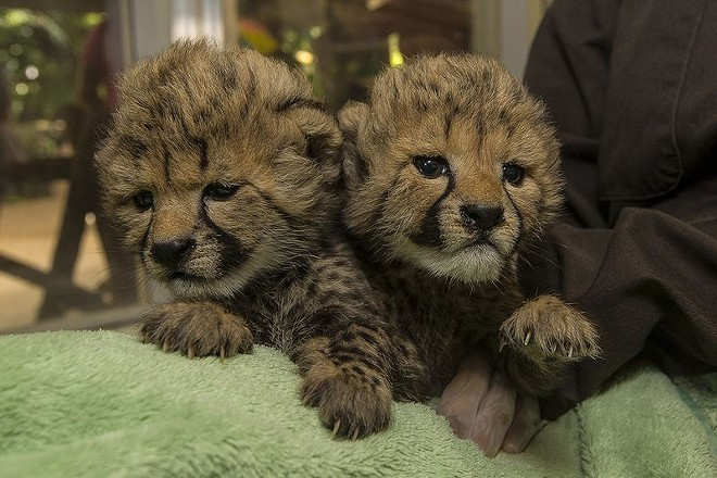San Diego Zoo welcomed twin cheetah sisters on Sept. 1. - ZOOBORNS