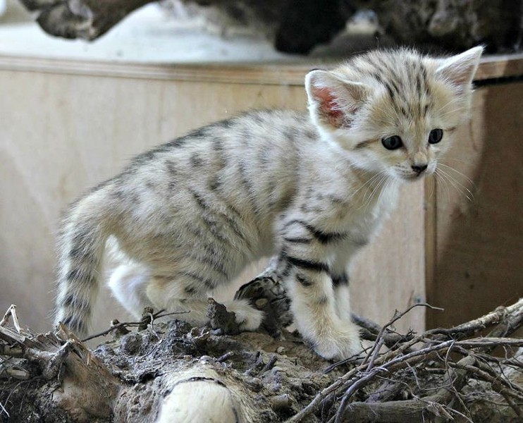 Sand Cats are native to the deserts of North Africa and southwest Asia. Three kittens were born in April at the Czech Republic's Zoo Brno. - ZOOBORNS