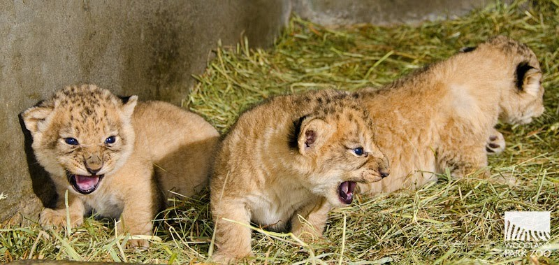 Seattle's Woodland Park Zoo all-male lion cub litter of four was born Oct. 25. - ZOOBORNS/WOODLAND PARK ZOO