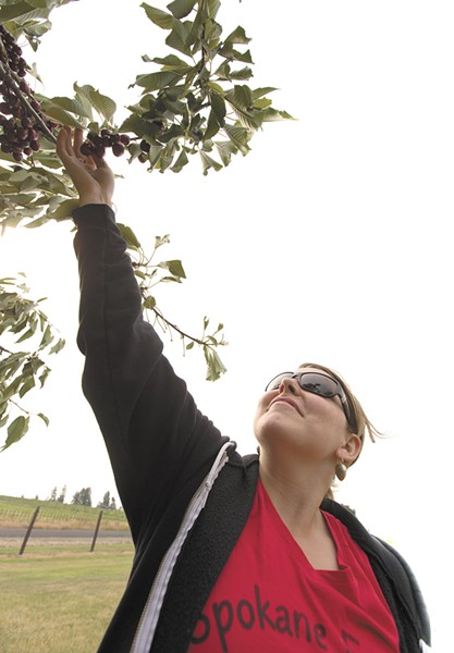 Spokane Edible Tree Project president Kate Burke picks cherries to be donated to Second Harvest. - YOUNG KWAK