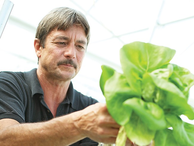 Stewart Fry harvests green Bibb lettuce at C and S Hydro Huts - YOUNG KWAK PHOTO