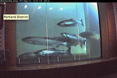 Still from webcam on Bonneville Dam. - USACE