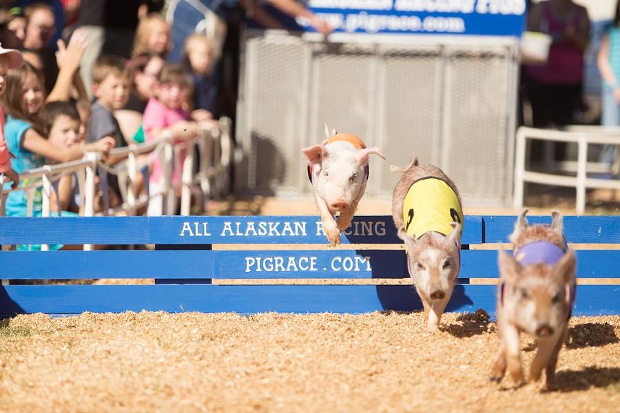 The All-Alaskan Racing Pigs race. - YOUNG KWAK