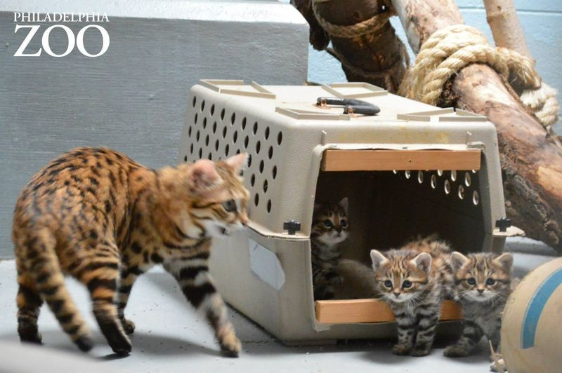 "The three black-footed cats born in April at the Philly Zoo were named after Daenerys Targaryen's dragons (Drogon, Rhaegal, and Viserion) in the series ""Game of Thrones."" - ZOOBORNS/PHILADELPHIA ZOO"