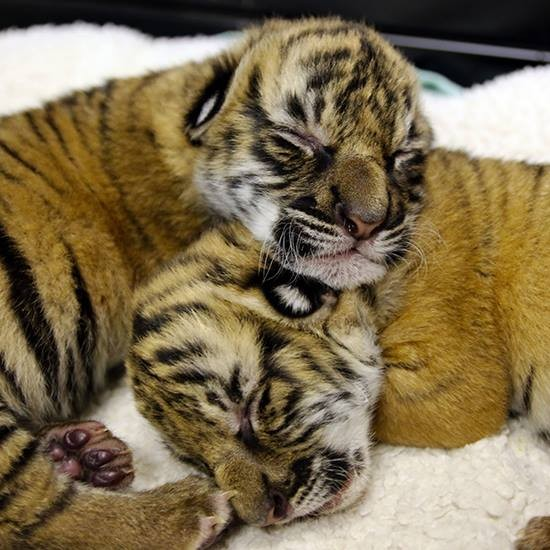 These Malayan Tiger brothers were born Nov. 16 at Louisiana's Alexandria Zoo. - ZOOBORNS