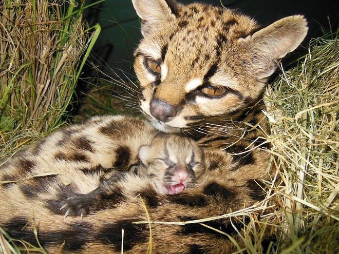 This Uruguay zoo's margay — a cousin of the ocelot — gave birth to one tiny kitten on Nov. 1. - ZOOBORNS