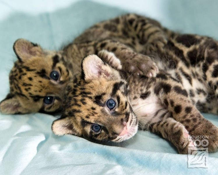 Two Clouded Leopard cubs entered the world at the Houston Zoo on June 6. - ZOOBORNS/HOUSTON ZOO