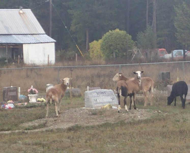 If Godes was frustrated when the fence was moved, she became even more so when she noticed a herd of goats she believes to belong to Pratt grazing around the headstones. - COURTESY OF DONNA GODES