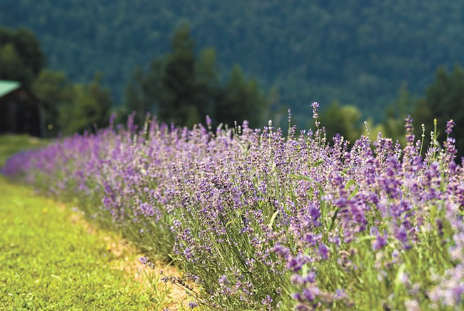 The Evening Light Lavender U-Pick festival returns July 7-8 in Deer Park, Washington.
