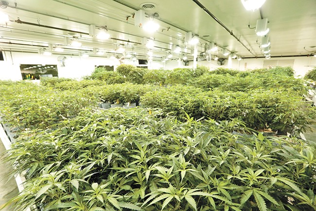 While GrowOp Farms (pictured) is one of the top pot producers in the state, experts say the industry is burdened with too much weed. - YOUNG KWAK