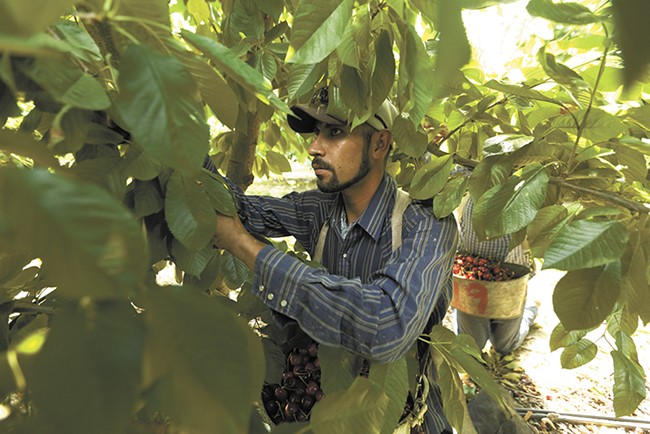 Crews, including guest workers from Mexico, race to harvest cherries at K S Orchards. - YOUNG KWAK
