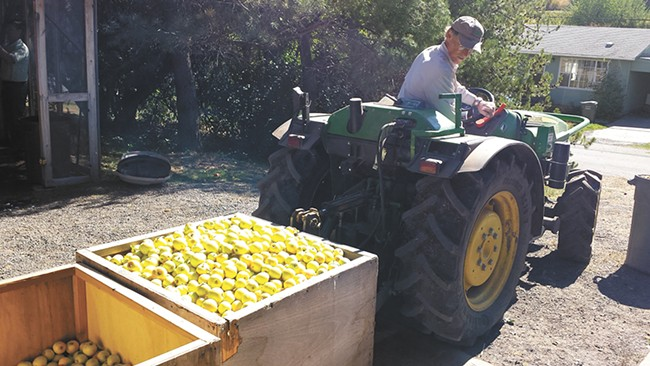 Stephen Bishop brings another load of apples for cider-pressers visiting his orchard in Garfield. - DAN NAILEN