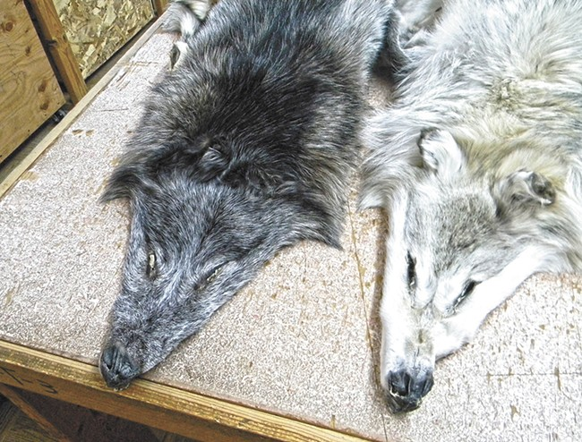 Two wolf pelts at Moscow Hide and Fur. - JAKE THOMAS