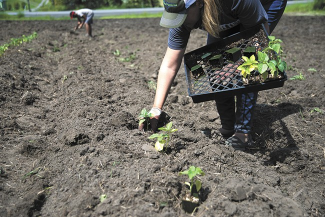 Vets on the Farm volunteer Marnie Vandenberg places plants in the ground at the organization's learning farm in Spokane. - TARYN PHANEUF