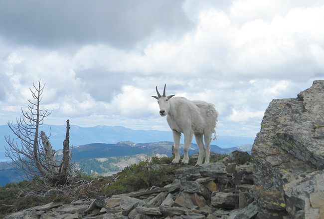 Problems arise when mountain goats start to see humans as easy sources of food or salt. - JAKE THOMAS