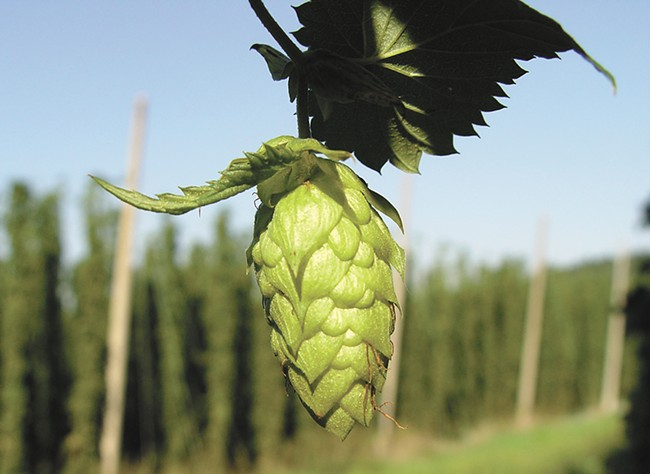 The hops have been harvested—now it's time to drink them up.