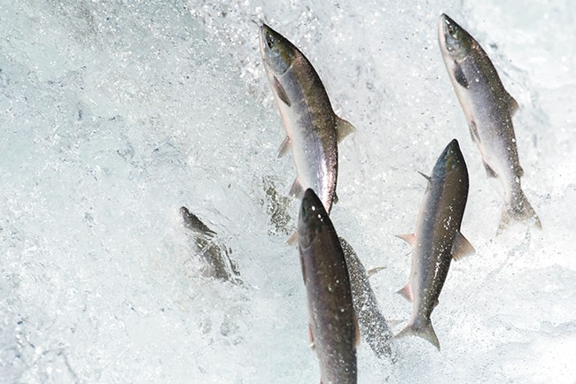 Even if new technology is able to send salmon shooting over Grand Coulee, the habitat beyond may not be hospitable.