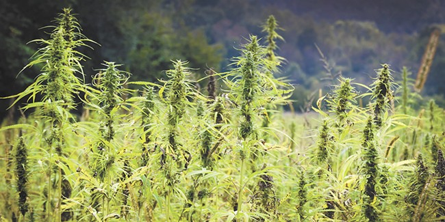 Don't call it a comeback: Industrial hemp could see a new heyday in Washington state.