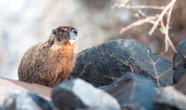 A yellow-bellied marmot sits on a rock near where the Centennial Trail passes under the Monroe Street Bridge. - DANIEL WALTERS