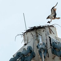 There's an osprey family living at the top of the Riverfront Park Pavilion, and we've got pictures