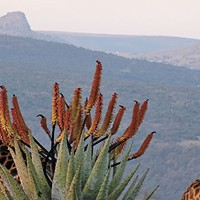 South Africa: An African Plant Safari