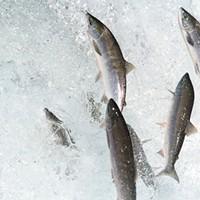 Saving salmon talk, Parade of Nations and more