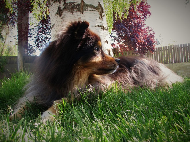 Sadly, no picture you can ever provide can ever match the glory and splendor of Boone, my family's dearly departed Australian shepherd. All animals are total uggos in comparison. - DANIEL WALTERS PHOTO