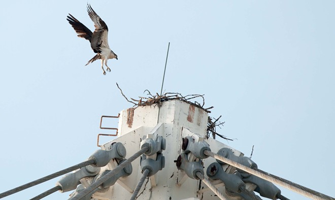 Pavilion Osprey coming in for a landing. - DANIEL WALTERS PHOTO