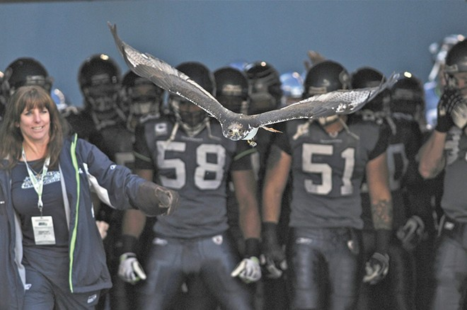 Taima the Hawk, showing off his impressive nearly 5-foot wingspan, leads the Seahawks to football victory at all home games.