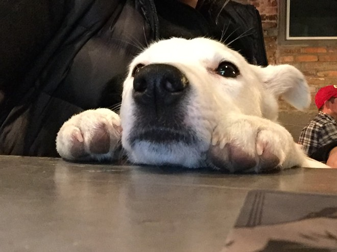 The author's dog, Millie, particularly enjoys spending her evenings at Community Pint. - DEREK HARRISON