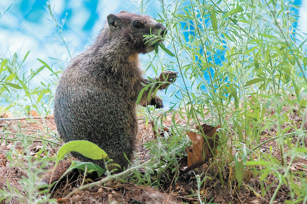 A marmot munches on some foliage on the north bank of Riverfront Park. - DANIEL WALTERS PHOTO