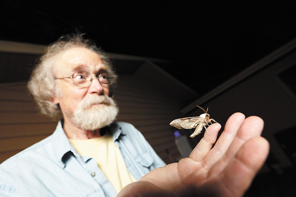 """BUGGING OUT"" - A Smerinthus opthalmica (western one-eyed sphinx) moth stands on Carl Barrentine's hand after Barrentine released it at his house in Spokane. He captured the moth earlier in the morning. Barrentine, a retired biologist and professor, captures and identifies moths."