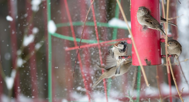 Sparrows flitter about the Spokane snow on Friday morning. - DANIEL WALTERS PHOTO