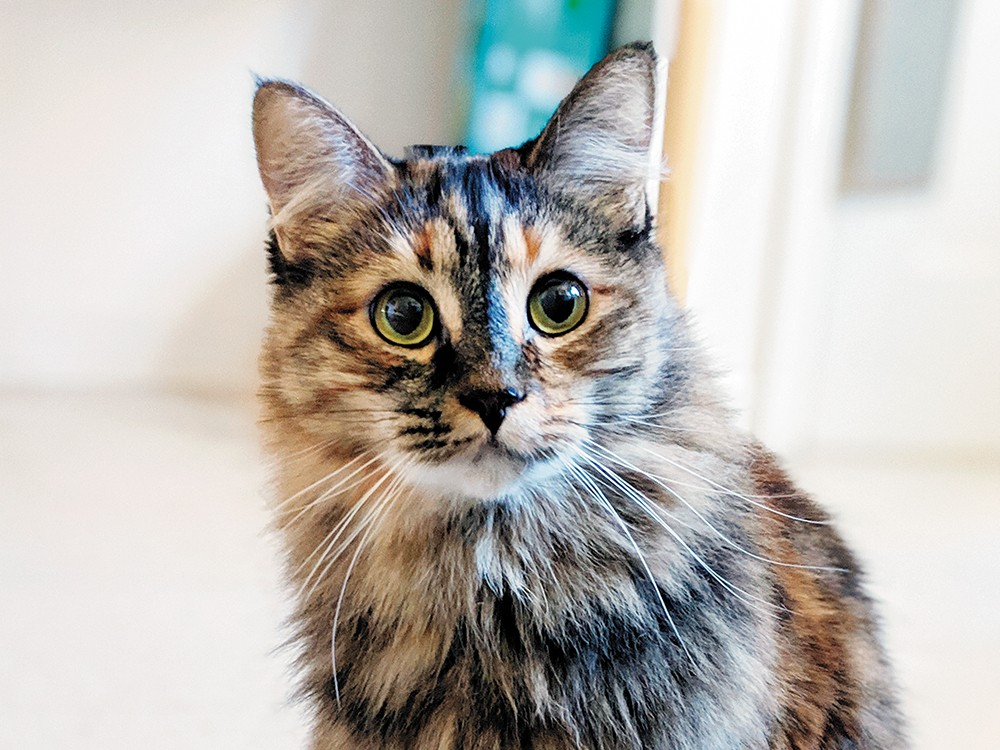 The author's cat, Dellie, (Instagram: @dellie_cat) was adopted from the Spokane Humane Society in 2016.
