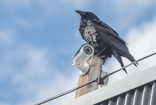 A raven sits atop a surveillance camera on the Inlander/Windermere Real Estate building in Kendall Yards. - DANIEL WALTERS PHOTO