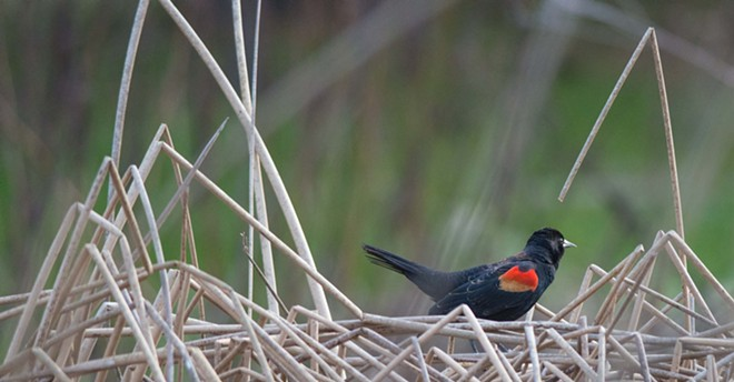 A red-winged blackbird rests on a thicket of brush in the marsh outside Palisades Christian Academy on Tuesday - DANIEL WALTERS PHOTO