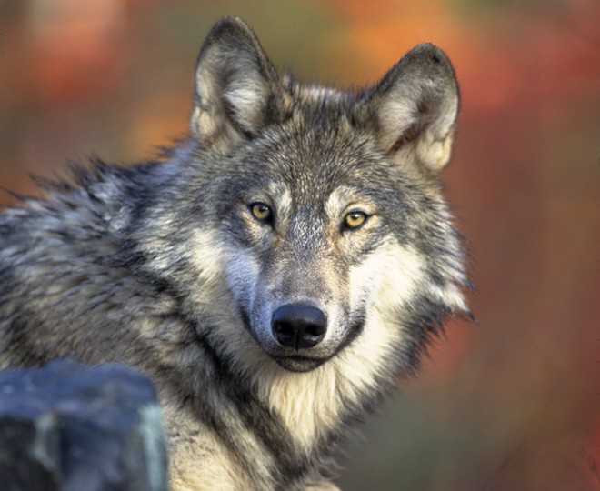Bosworth suggested sending severed wolf parts to environmental activist Kierán Suckling. - GARY KRAMER/USFWS PHOTO