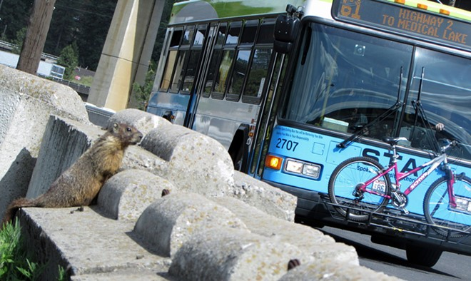 A marmot pops up its marmotty head near an STA bus on Sunset Highway - DANIEL WALTERS PHOTO