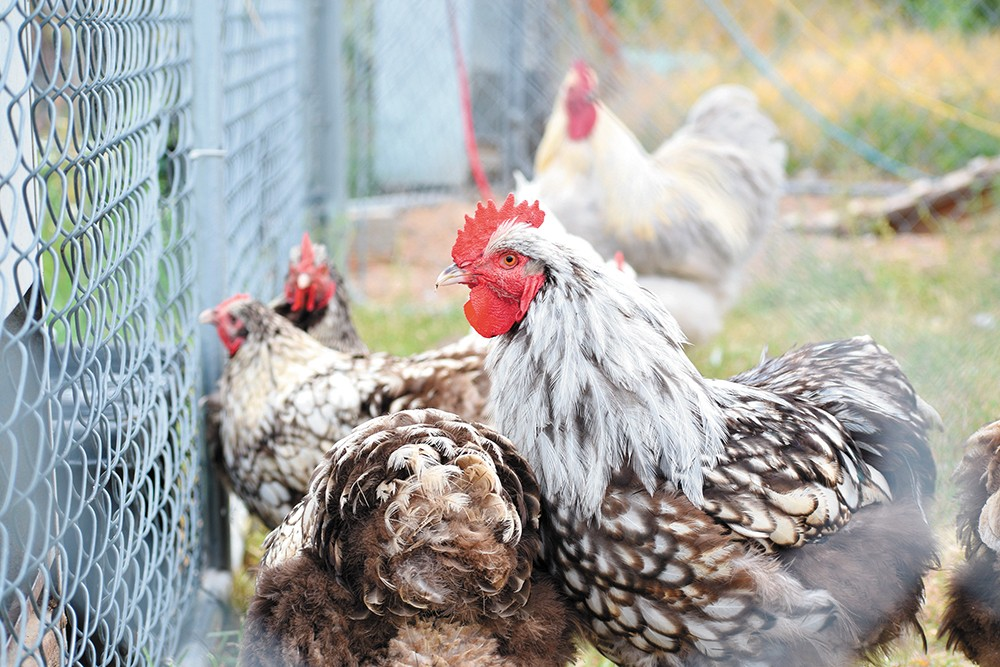 Chickens! Sometimes food, sometimes a nice pet. - WILSON CRISCIONE PHOTO