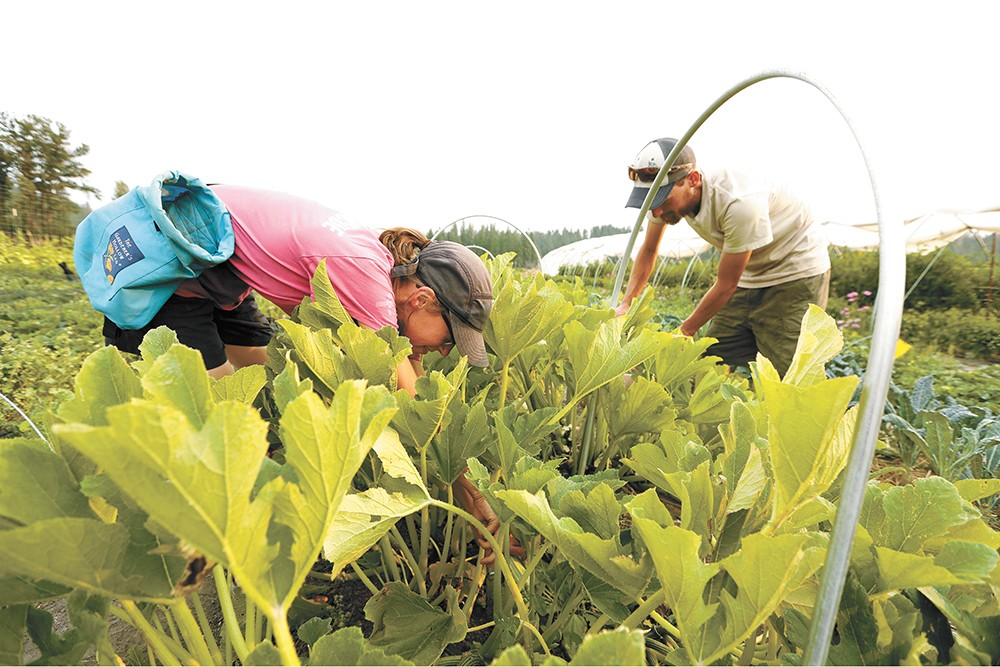 Becca Woollett (left) and Marcus Intinarelli harvest squash at Thompson Creek Farm. - YOUNG KWAK PHOTO
